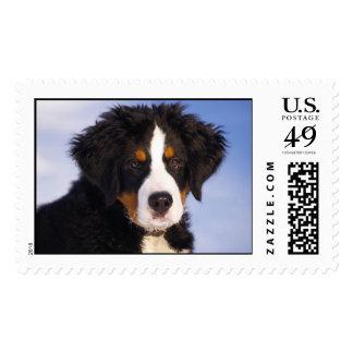 Perrito del perro de montaña de Bernese Timbre Postal