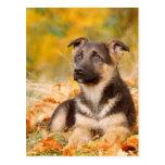 Perrito del perro de pastor alemán del otoño postales
