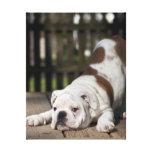 Perrito inglés del dogo que estira abajo impresiones en lienzo estiradas