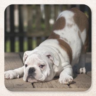 Perrito inglés del dogo que estira abajo posavasos de cartón cuadrado