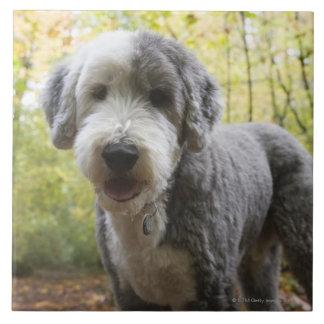 Perrito inglés del perro pastor en bosque azulejo cuadrado grande