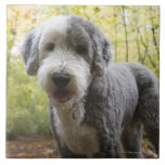Perrito inglés del perro pastor en bosque tejas