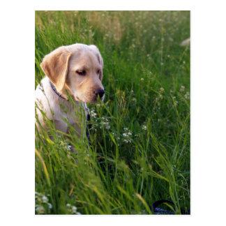 Perrito lindo de Labrador en hierba Tarjeta Postal