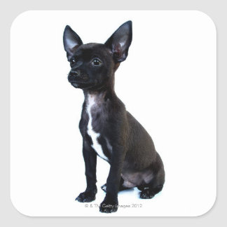 Perrito negro de la chihuahua pegatinas cuadradas