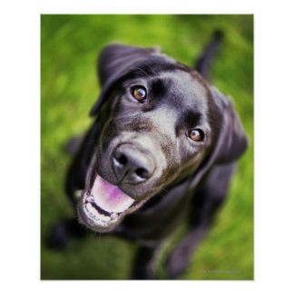 Perrito negro de Labrador que mira hacia arriba, p Póster