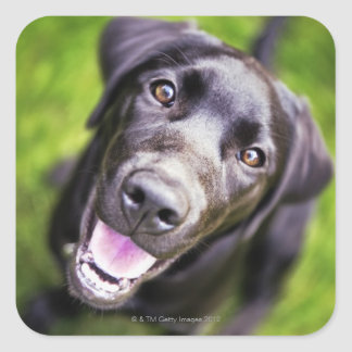 Perrito negro de Labrador que mira hacia arriba, Pegatina Cuadrada