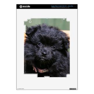 Perrito negro de Pomeranian iPad 3 Skins
