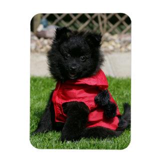 Perrito negro de Pomeranian que mira la cámara Imán Rectangular
