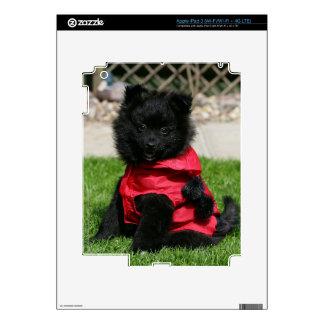 Perrito negro de Pomeranian que mira la cámara iPad 3 Skin