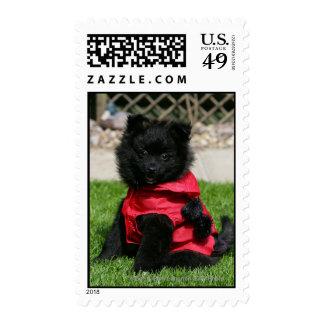 Perrito negro de Pomeranian que mira la cámara