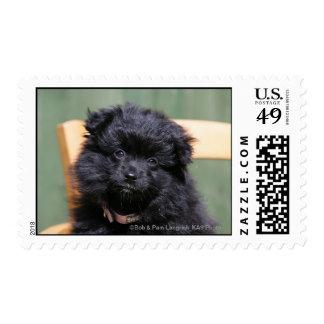Perrito negro de Pomeranian