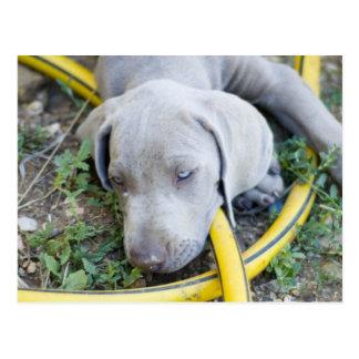 Perrito observado azul postales