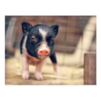Perrito picazo del cerdo para los amantes del postal