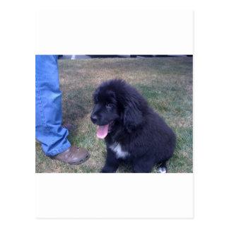 Perrito precioso de Newfie (raza del perro de Terr Postal