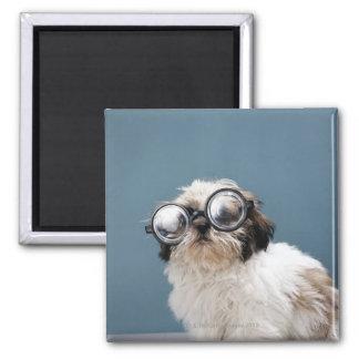 Perrito que lleva los vidrios gruesos imán de frigorífico