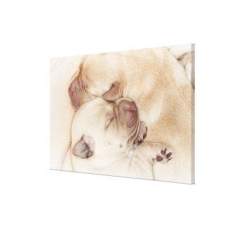 Perritos amarillos del labrador retriever, 10 días impresión en lienzo