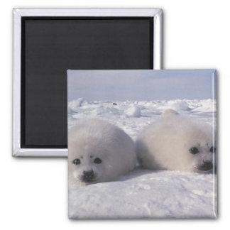 Perritos de foca de Groenlandia de la foca de Groe Imán De Frigorífico