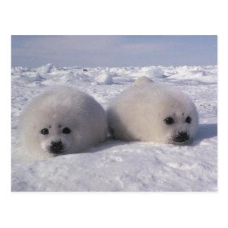 Perritos de foca de Groenlandia de la foca de Groe Tarjetas Postales