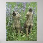 Perritos de lobo que gritan en prado póster