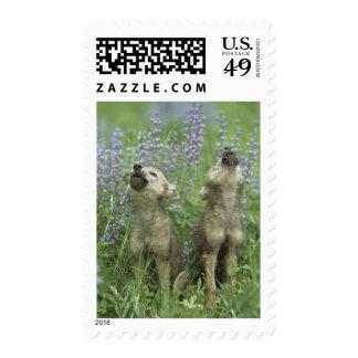 Perritos de lobo que gritan en prado sellos