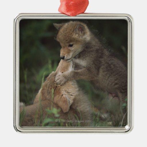 Perritos del coyote que luchan (Canis Latrans) Adorno Cuadrado Plateado