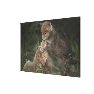 Perritos del coyote que luchan (Canis Latrans) Lienzo Envuelto Para Galerias