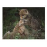 Perritos del coyote que luchan (Canis Latrans) Postal