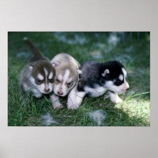 Perritos del husky siberiano 3 semanas posters
