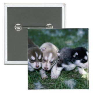 Perritos del husky siberiano, 3 semanas pin