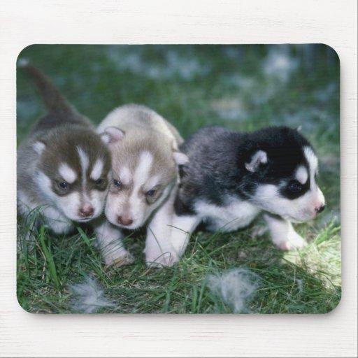 Perritos del husky siberiano, 3 semanas alfombrillas de raton