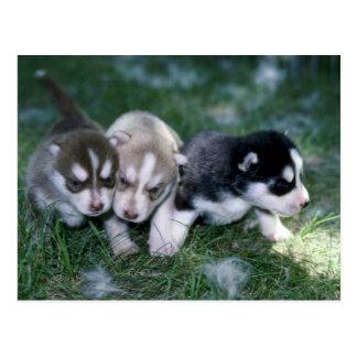 Perritos del husky siberiano, 3 semanas tarjeta postal