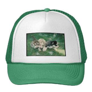 Perritos del husky siberiano gorras