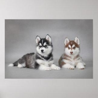 Perritos del husky siberiano poster