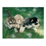 Perritos del husky siberiano postales