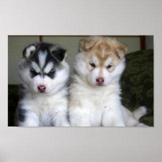 Perritos del husky siberiano póster