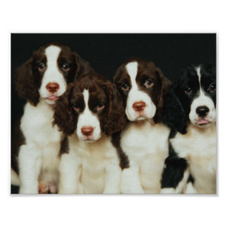 Perritos del perro de aguas de saltador inglés 2 poster