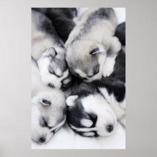 perritos fornidos lindos póster