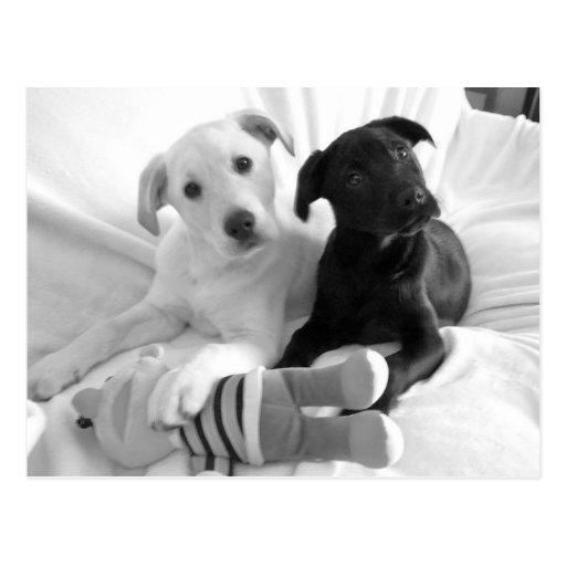 perritos negros del blanco de n tarjetas postales