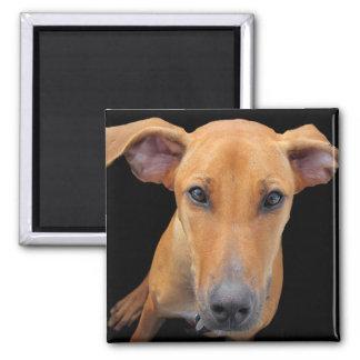 Perro adorable de Rhodesian Ridgeback Imán Cuadrado