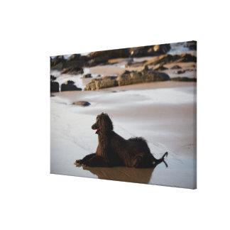 Perro afgano en la playa de Deba, Guipuzcoa, Lona Envuelta Para Galerías
