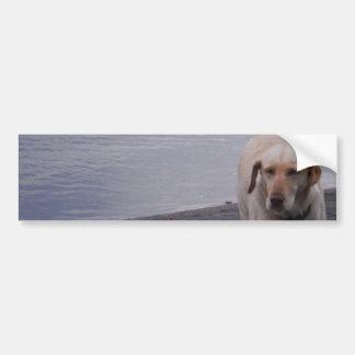 Perro amarillo en labrador retriever del amarillo  pegatina para auto