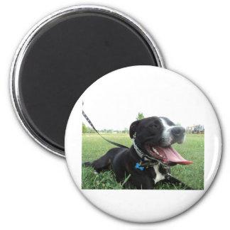 Perro americano del icono y de la familia de APBT Iman De Frigorífico
