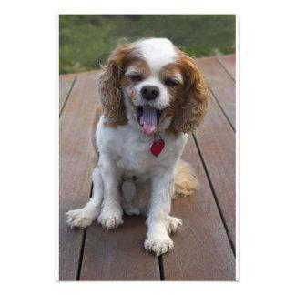 Perro arrogante lindo del perro de aguas de rey Ch Fotografías