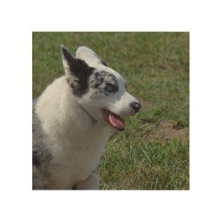 Perro azul del Corgi de Merle Cuadro De Madera