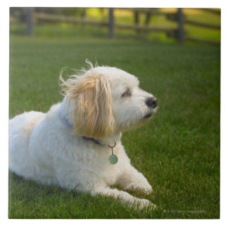 Perro blanco tejas