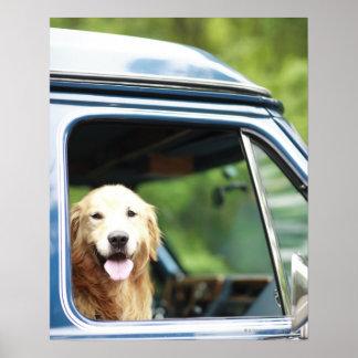 Perro casero que se sienta en un coche posters