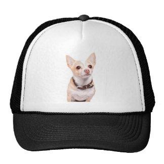 Perro coloreado arenoso lindo de la chihuahua gorras de camionero