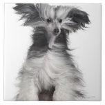 Perro con cresta chino (15 meses) en el viento azulejos