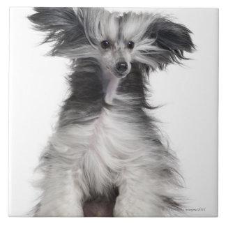 Perro con cresta chino (15 meses) en el viento azulejo cuadrado grande