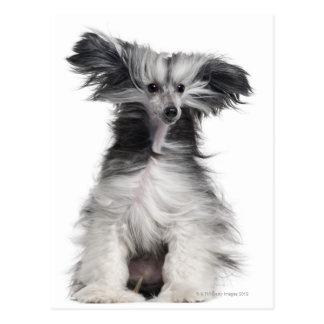 Perro con cresta chino (15 meses) en el viento postales